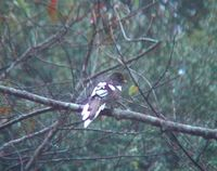 White-winged Magpie - Urocissa whiteheadi