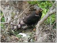Crowned Hawk-Eagle - Stephanoaetus coronatus