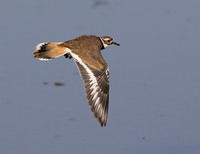 Killdeer (Charadrius vociferus) photo