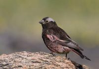 Black Rosy-Finch (Leucosticte atrata) photo