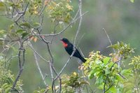 Scarlet-throated Tanager - Compsothraupis loricata