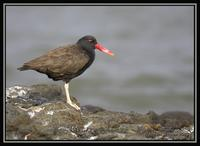 Blackish Oystercatcher  3