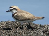 Kentish Plover, Salinas Del Janubio, Lanzarote, March 2006.