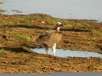 Lappet-faced Vulture (Örongam) - Torgos tracheliotus