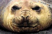 Southern Elephant Seal (Mirounga leonina) photo