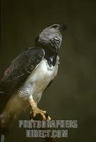 Harpy Eagle ( brazilian name : Gavi