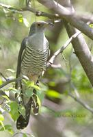 Oriental or Common cuckoo C20D 03210.jpg