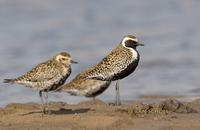 Pacific golden plover C20D 02352.jpg