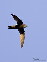 House Swift Apus affinis