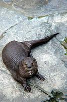 Spotted necked otter (Lutra maculicollis)