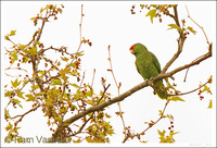 : Amazona finschi; Lilac-crowned Parrot