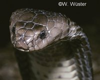 : Naja oxiana; Central Asian Cobra