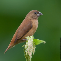 Chesnut Munia (Immature) Scientific name: Lonchura atricapilla