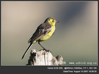 Motacilla citreola Yellow-headed Wagtail 黃頭鶺鴒 117-010