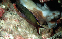 Lepidozygus tapeinosoma, Fusilier damselfish: aquarium