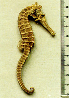 Hippocampus angustus, Narrow-bellied seahorse: fisheries, aquarium