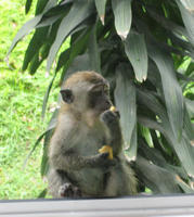 Image of: Macaca fascicularis (long-tailed macaque)