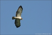 Buteo brachyurus - Short-tailed Hawk