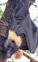 Pteropus mariannus - Marianas Flying Fox