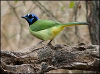Image of: Cyanocorax yncas (green jay)