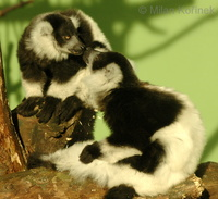 Varecia variegata variegata - Black and White Ruffed Lemur