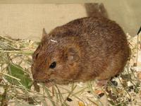 Microtus guentheri - Günther's Vole