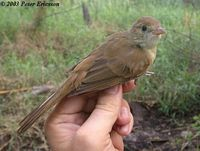 Thick-billed Warbler - Acrocephalus aedon