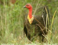 Australian Brush-turkey - Alectura lathami