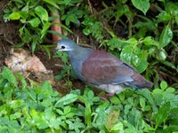 Buff-fronted Quail-Dove - Geotrygon costaricensis