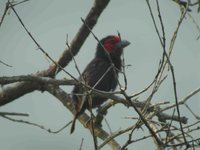 Red-faced Barbet - Lybius rubrifacies