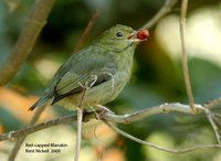 Red-capped Manakin - Pipra mentalis