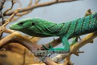 ...The Green Tree Monitor , found mainly on the island of New Guinea , is an arboreal ( tree dwelli