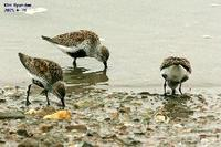 Calidris alpina , 민물도요 - Dunlin