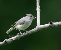 : Baeolophus bicolor; Tufted Titmouse