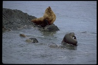 : Eumetopias jubatus; steller sea lion