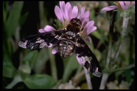 : Exoprosopa doreadion; Bee Fly