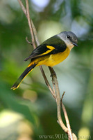 Grey-throated Minivet 灰喉山椒鳥