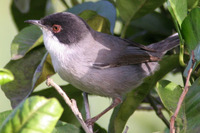 Sardinian Warbler in villa grounds