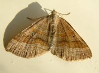 Scotopteryx chenopodiata - Shaded Broad-bar
