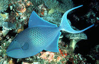 Odonus niger, Redtoothed triggerfish: fisheries, aquarium