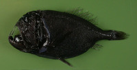 Anoplogaster cornuta, Common fangtooth: