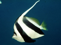 Heniochus diphreutes, False moorish idol: aquarium