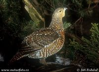 Tetrao urogallus - Western Capercaillie
