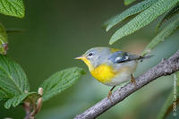 Image of: Parula americana (northern parula)