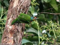Black-browed Barbet - Megalaima oorti