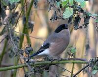 female Bullfinch feeding on Nettle seeds at Venus Pool - December 2005 (photo Jim Almond)