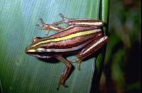 : Hyperolius quinquevittatus; Five-striped Reed Frog
