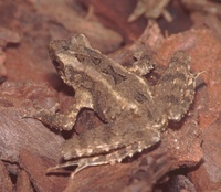 : Leptophryne borbonica; Hourglass Toad