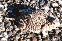 : Phrynosoma cornutum; Texas Horned Lizard