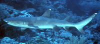 Triaenodon obesus, Whitetip reef shark: fisheries, gamefish